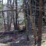 Rådjur i skog.
