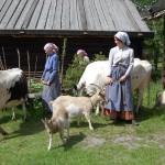 Kullor med kor och getter på tunet