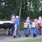Kullor på väg med kor