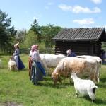 Kullor, kor och getter på fäboden