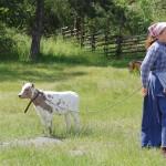 Kulla med kalv i ett rep