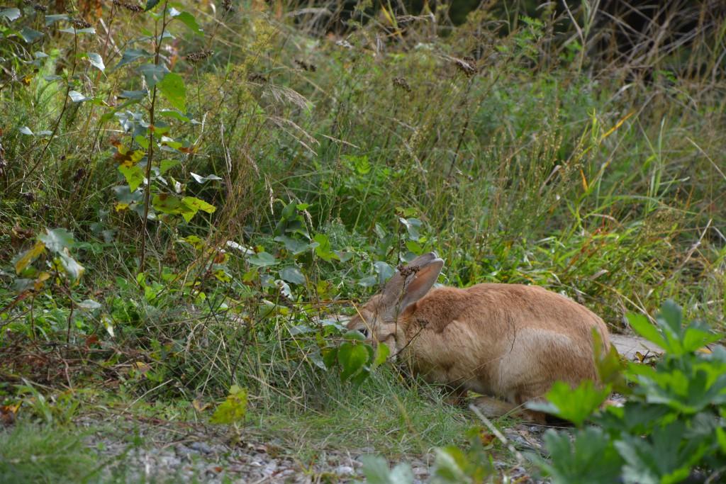 Kanin som betar i grönt gräs.