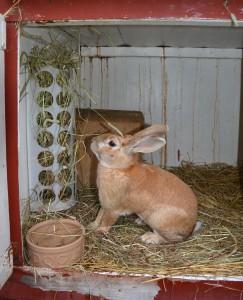 Gul kanin äter hö i sin bur
