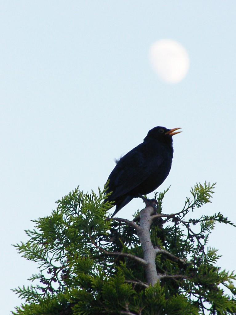 En koltrast sitter i en trädtopp och sjunger.
