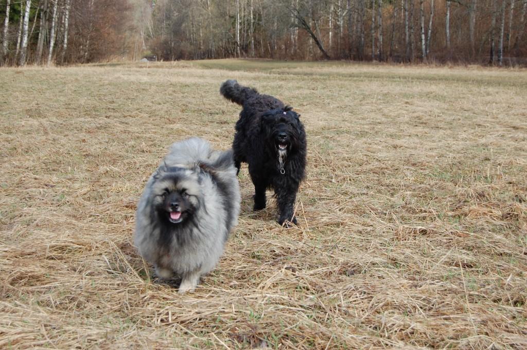 Två hundar kommer rusande mot kameran.
