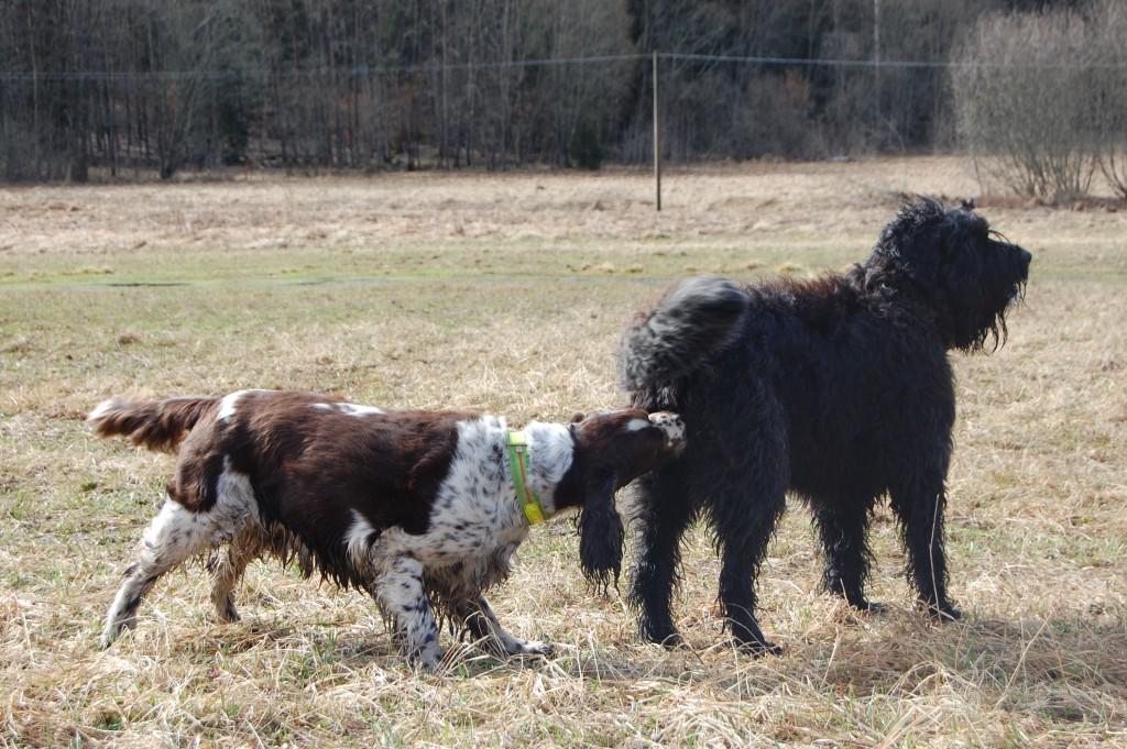 En hund nosar en annan i baken.