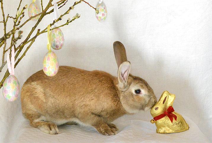 Gul kanin nosar på en chokladkanin inklädd i guldfolie.