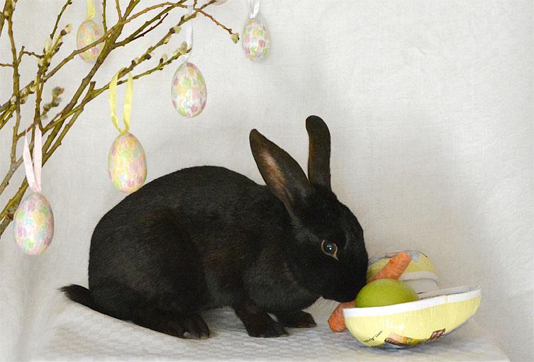Svart kanin äter morot och äpple ur ett påskägg.