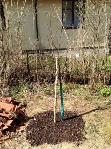 Nyplanterat träd.