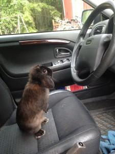 mörkbrun dvärgvädur som sitter på förarsätet i en bil