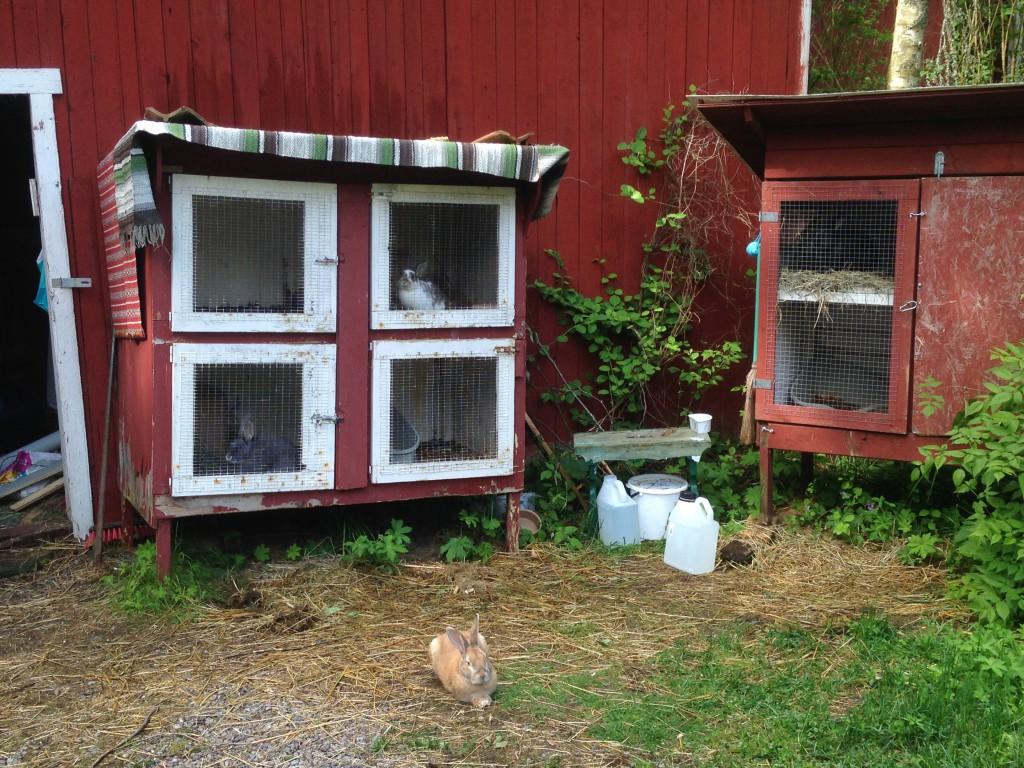 en gul kanin ligger på marken framför två stora burar