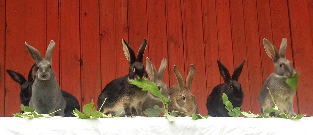 Sju gotlandskaninungar som äter blad.